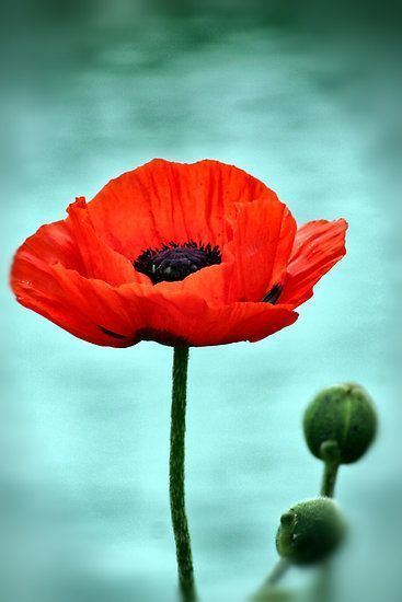 Poppy 1000 ideas about Poppies on Pinterest Poppy drawing Poppies art