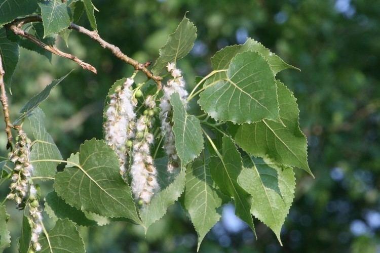 Populus Populus deltoides eastern cottonwood necklace poplar Go Botany