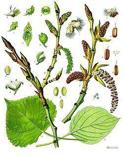 Populus Populus nigra Wikipedia