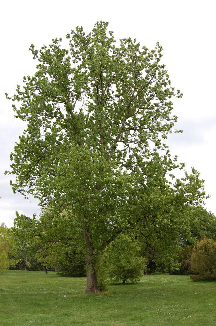 Populus Populus x canadensis 39Robusta39 landscape architect39s pages