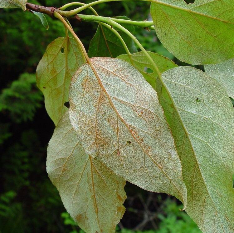 Populus balsamifera Populus balsamifera balsam poplar Go Botany