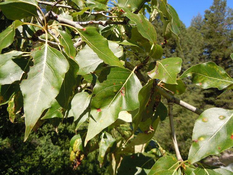 Populus balsamifera FilePopulus balsamifera 5002984834jpg Wikimedia Commons