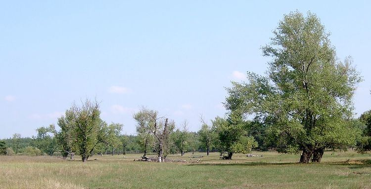 Populus nigra Populus nigra Wikipedia