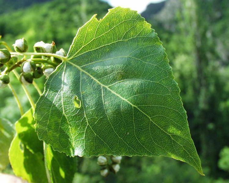 Populus nigra httpsnewfss3amazonawscomtaxonimages1000s1