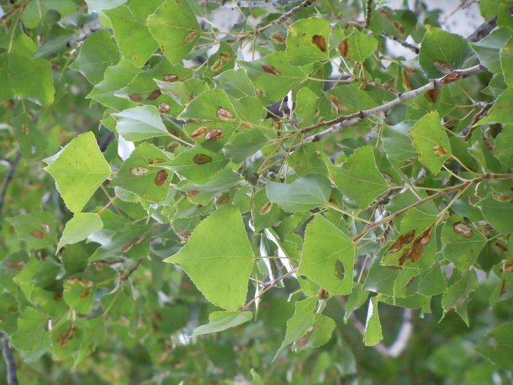 Populus nigra FilePopulus nigra 4998507297jpg Wikimedia Commons