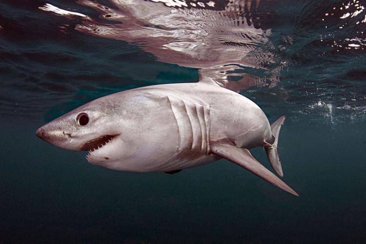 Porbeagle Porbeagle Shark Shark Week Discovery