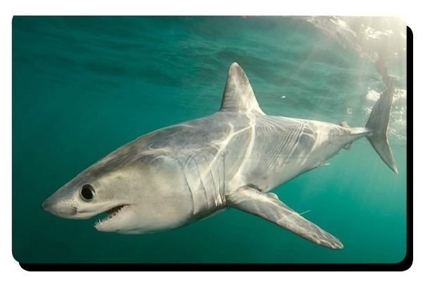 Porbeagle Porbeagle Shark Facts Strong and Fast All Five Oceans