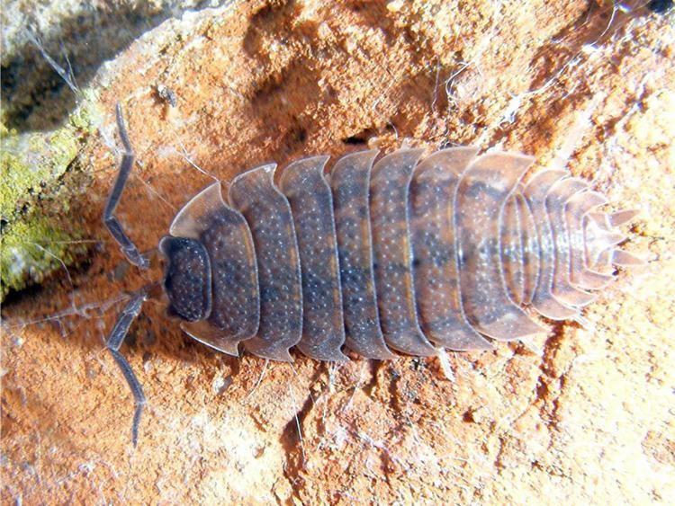 Porcellio scaber Common Rough Woodlouse Porcellio scaber NatureSpot