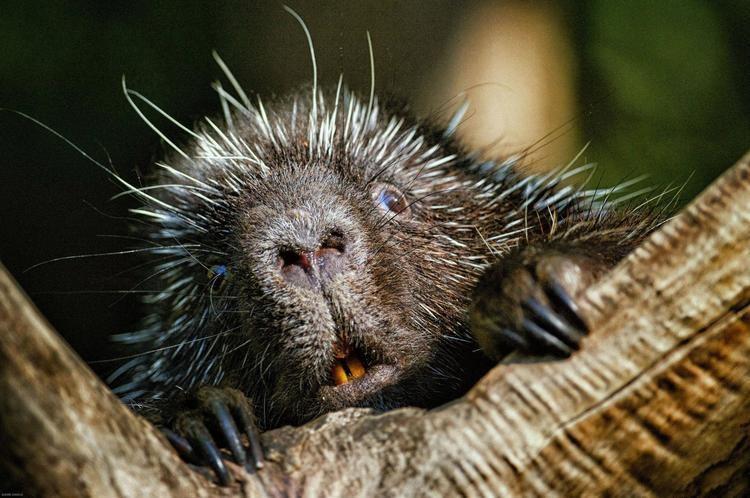 Porcupine Porcupines