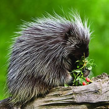 Porcupine Porcupine Control amp Removal of Porcupine Catseye Pest Control