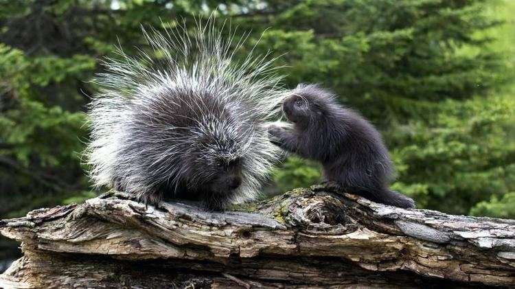 Porcupine porcupinemotherbabylogjpgadapt9451jpg