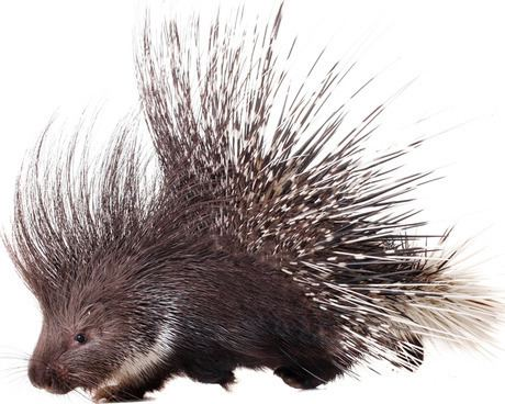 Porcupine Dogs and porcupines Dogtime