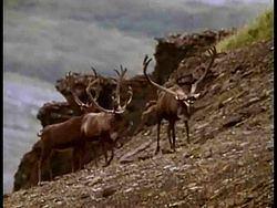 Porcupine caribou httpsuploadwikimediaorgwikipediacommonsthu