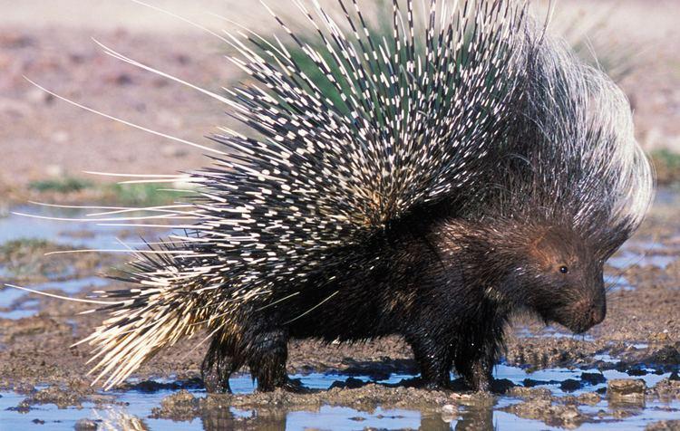 Porcupine Porcupine African Wildlife Foundation