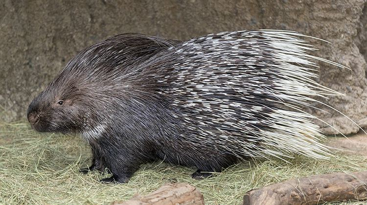 Porcupine Indian Crested Porcupine San Diego Zoo