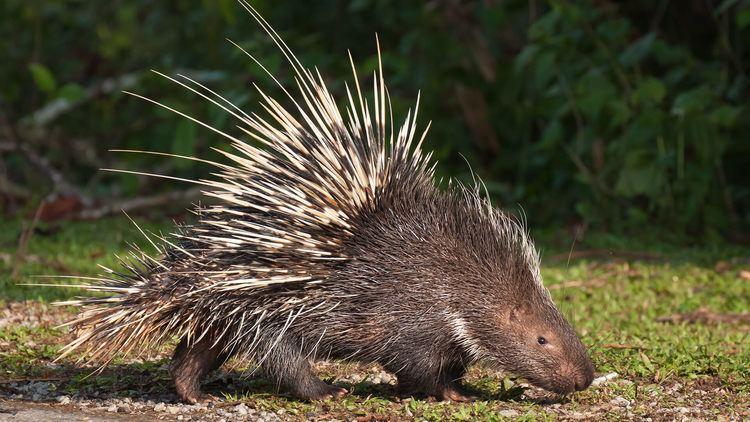 Porcupine animalssandiegozooorgsitesdefaultfiles20160
