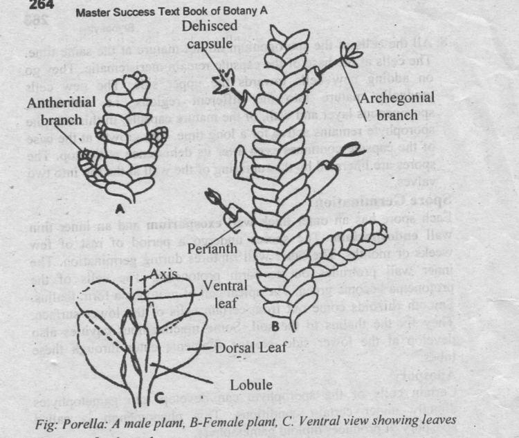 Porella TYPE PORELLA Occurrence Structure and Reproduction Biology Boom