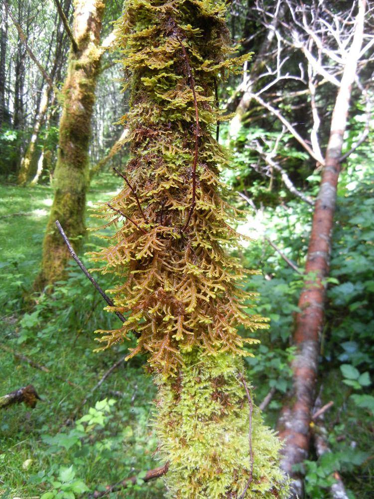 Porella Porella navicularis Introduction to Bryophytes