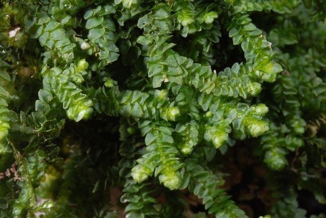 Porella Consortium of North American Bryophyte Herbaria Porella platyphylla