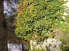 Porella httpsuploadwikimediaorgwikipediacommonsthu