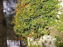 Porellaceae httpsuploadwikimediaorgwikipediacommonsthu