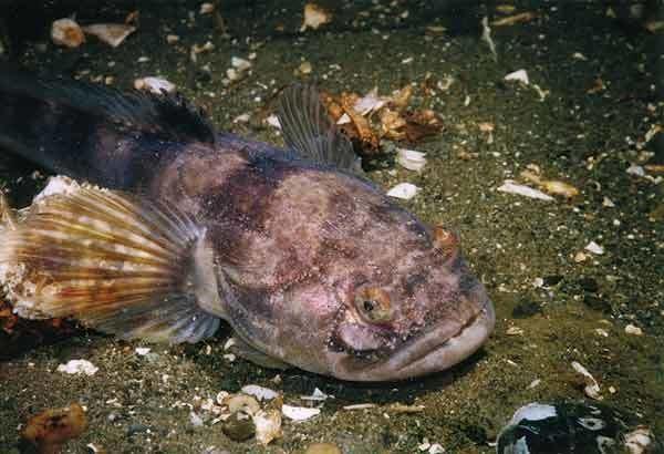 Porichthys notatus Plainfin Midshipman Porichthys notatus