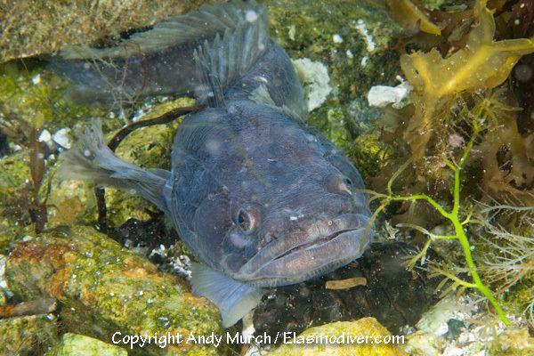 Porichthys notatus marinelifepicscomFish20PicturesPlainfin20Mids