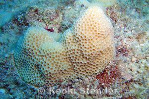 Porites Lobe amp Finger Corals Family Poritidae