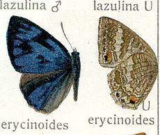 Poritia erycinoides httpsuploadwikimediaorgwikipediacommonsthu