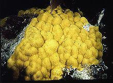 Poritidae httpsuploadwikimediaorgwikipediacommonsthu