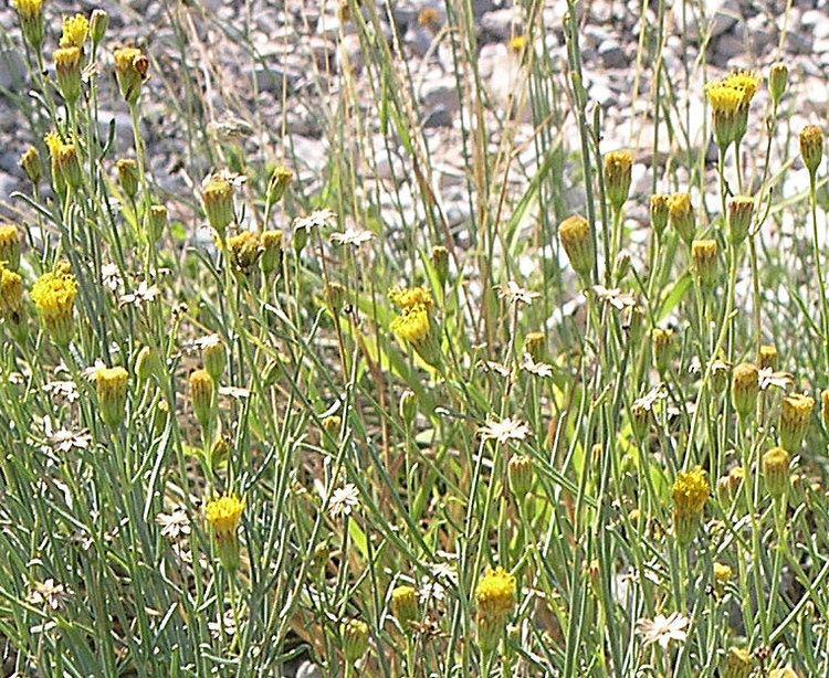 Porophyllum Porophyllum