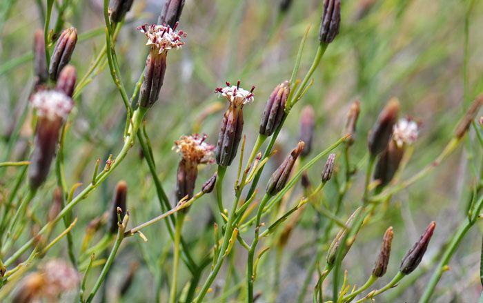 Porophyllum Porophyllum gracile Slender Poreleaf Southwest Desert Flora