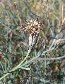 Porophyllum httpsuploadwikimediaorgwikipediacommonsthu