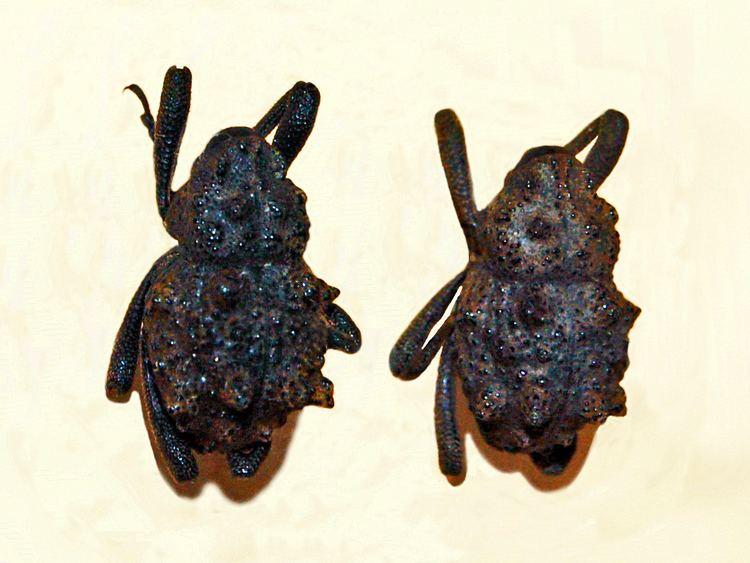 Poropterus solidus
