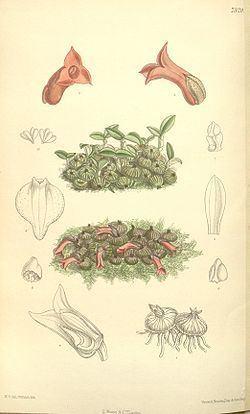 Porpax (plant) httpsuploadwikimediaorgwikipediacommonsthu