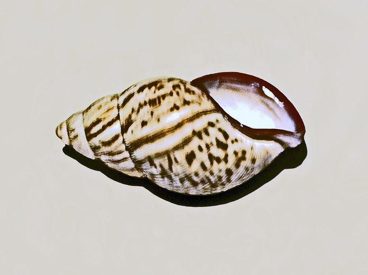 Porphyrobaphe
