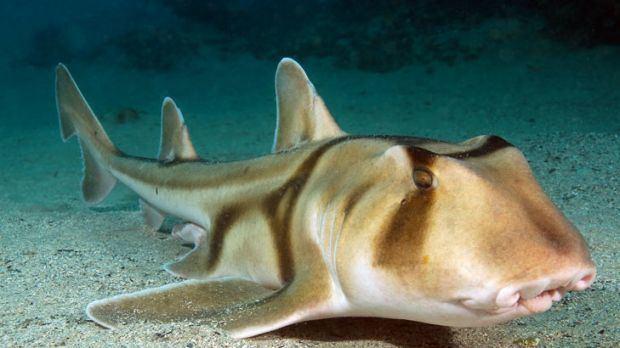 Port Jackson shark Elwood Beach Shark Attack Shock Just A Case Of Fish 39N39 Nips