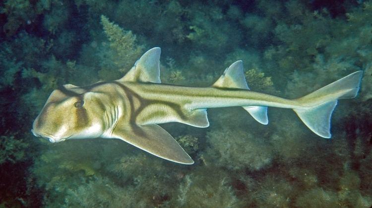 Port Jackson shark port jackson shark on emaze