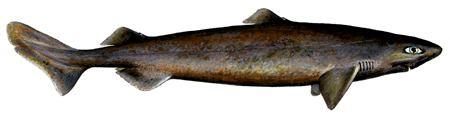 Portuguese dogfish Portuguese Dogfish Bord Iascaigh Mhara