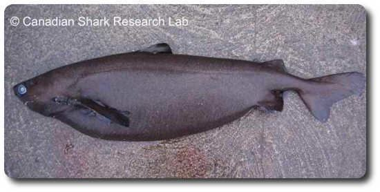 Portuguese dogfish Sharks Of The World Like Portuguese Dogfish Sharks Shark Sider