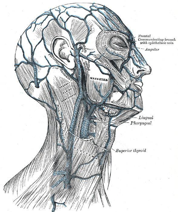 Posterior auricular vein