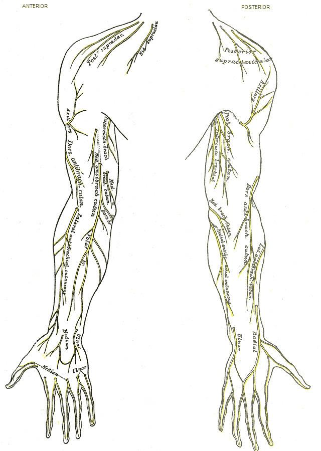 Posterior cutaneous nerve of arm