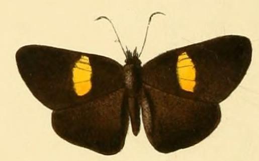 Potamanaxas flavofasciata