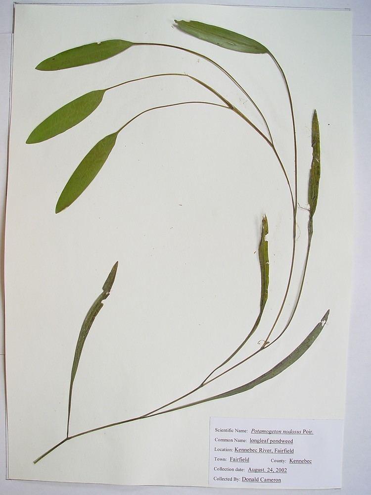 Potamogeton nodosus httpsnewfss3amazonawscomtaxonimages1000s1