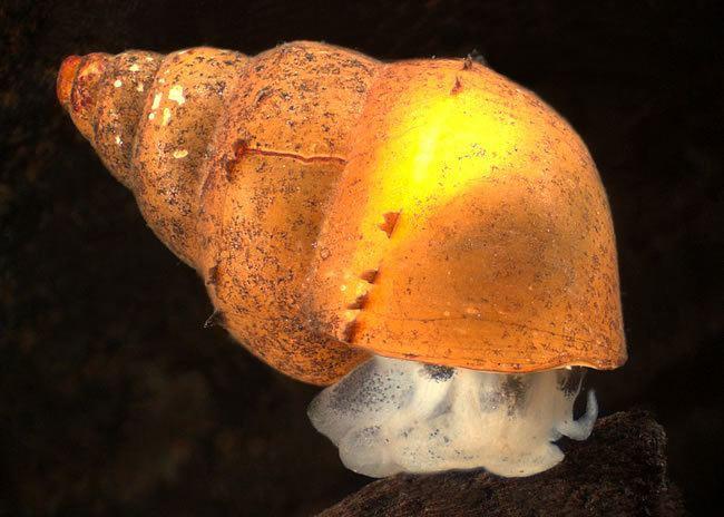 Potamopyrgus Mud snail Snails Landcare Research