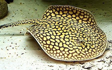 Potamotrygonidae MUNDO ANIMAL