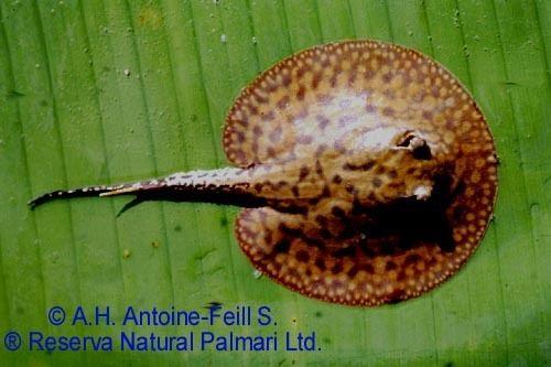 Potamotrygonidae Reserva Natural Palmari
