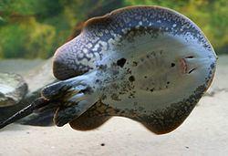 Potamotrygonidae Potamotrygonidae Wikispecies