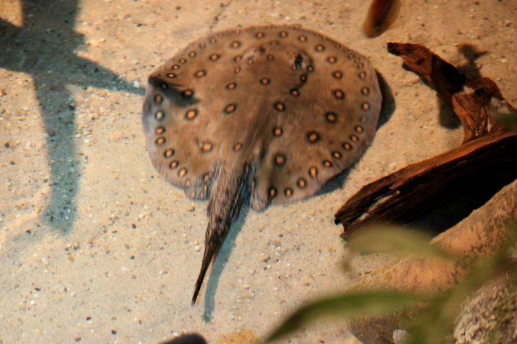 Potamotrygonidae Potamotrygonidae Potamotrygon motoro Pauwoogzoetwaterr Flickr