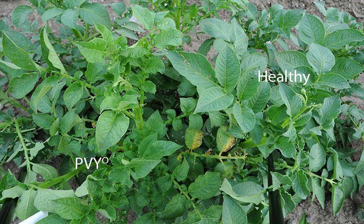 Potato virus Y Managing Potato Virus Y in Seed Potato Production
